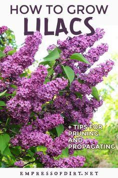 How to Grow Lilacs: Care, Prune, Propagate Outdoor Plants, Garden Plants, Outdoor Gardens, Roses Garden, Garden Shrubs, Fruit Garden, Outdoor Spaces, Outdoor Living, Outdoor Decor