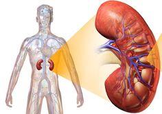 Často sa zdá, že obličkám nevenujeme takú pozornosť a starostlivosť, ako napríklad srdcu, pľúcam alebo mozgu. Lenže aj tento orgán je životne dôležitý. Prečítajte si, čo by ste mali o zdravých a funkčných obličkách vedieť.