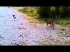 Staffordshire Bull Terrier vs. Cat ....lol :)