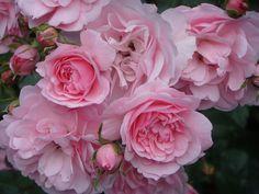 'Bonica' - Meilland (1982) - ADR 1982-2014, AGM 1993, Hall of Fame Roses 2003. Trosroos.