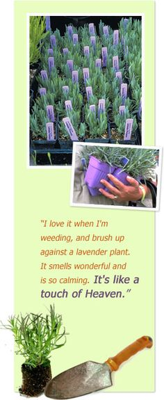 We are putting lavendar in around the border of the dining room this year.   Purple Haze Lavender Farm, Sequim Washington