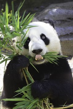 The giant panda (scientific name: Ailuropoda melanoleuca) belongs to the only mammals of the carnivora, the bear family, the giant… Panda Bebe, Cute Panda, Cute Baby Animals, Animals And Pets, Wild Animals, Beautiful Creatures, Animals Beautiful, Image Panda, Baby Panda Bears