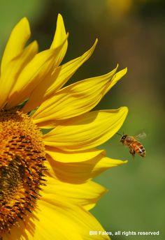 TᎧųཞŋɛᎦᎧℓᎦ (Honeybee coming in to land on a Kansas Sunflower)