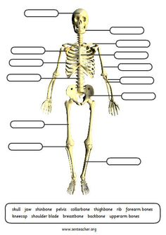 Printables Bones Of The Body Worksheet human skeleton skeletons and worksheets on pinterest printable labels worksheet with various options to simplify or alter the printout
