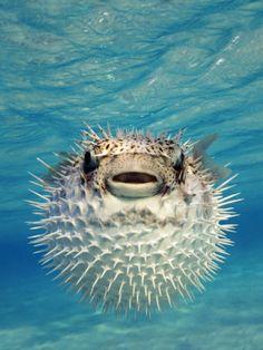 Close-up of a Puffer Fish Bahamas