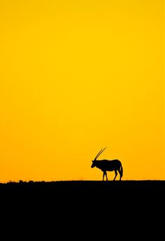 """""""Oryx Dawn.."""" by Brett Lewis. Oryx or Gemsbok at dawn on the sand dunes of the Namib-Naukluft Park in Namibia."""