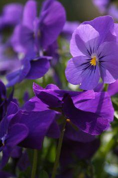Spring Flowers, Scotland   by Mijkra
