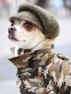 Montjiro the Chihuahua #dogs #dogoutfits #dogfashion http://www.petrashop.com/