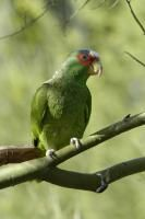 White-fronted Amazon (Amazona albifrons) videos, photos and sound recordings | the Internet Bird Collection | HBW Alive