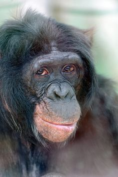 Portrait of a bonobo.  Wisdom in those eyes.