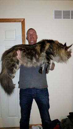 Animals Discover Submission to 16 Maine Coon Cats That Will Make Your Cat Look Tiny Chat Maine Coon Maine Coon Kittens Cats And Kittens Kittens Cutest Tabby Cats Turkish Angora Cat Huge Cat Long Cat Giant Cat Chat Maine Coon, Maine Coon Kittens, Kittens Cutest, Cats And Kittens, Tabby Cats, Ragdoll Kittens, Funny Kittens, Bengal Cats, White Kittens