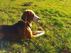 Deutsche Bracke, German Hound Dog