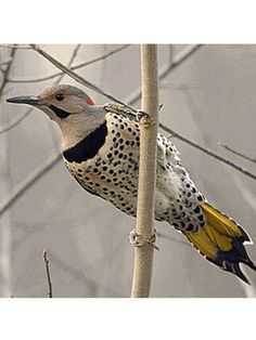 Yellow-shafted Northern Flicker, Colaptes auratus auratus