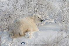 Mr Polar Bear could be in my backyard. The landscape is the same Reptiles, Mammals, Polar Bears Live, Polar Bears International, Polaroid, Mundo Animal, Cute Little Animals, Habitats, Alaska