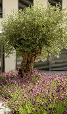 300 Jahre alter Olivenbaum mit Lavendelbeet