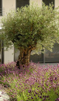 ber ideen zu olivenbaum auf pinterest gartenhaus nach ma terrasse und zimmerpflanzen. Black Bedroom Furniture Sets. Home Design Ideas