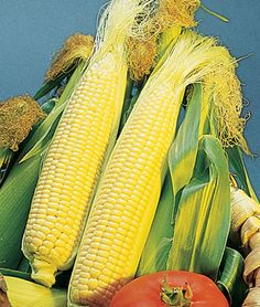 Corn Golden Bantam Organic 5 Ft Tall Grow In Container With Dwarf Sunflower
