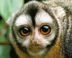 OWL MONKEY Location: Widely distributed in the forests of Central and South America, from Panama south to Paraguay and Northern Argetina Primates, Mammals, Baby Animals, Funny Animals, Cute Animals, Nocturne, Beautiful Creatures, Animals Beautiful, Beautiful Eyes