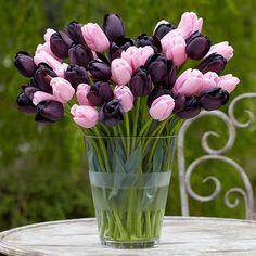 Tulip 'Havran' and Tulip 'Synaeda Amor'
