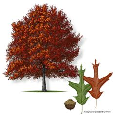 Interesting Facts About Southern Red Oak Tree - Texas A M Forest Service Trees Of Red Oak Tree, White Oak Tree, Red Maple Tree, Big Garden, Garden Trees, Garden Fun, Oak Tree Symbolism, Oak Tree Pictures, Tree Id