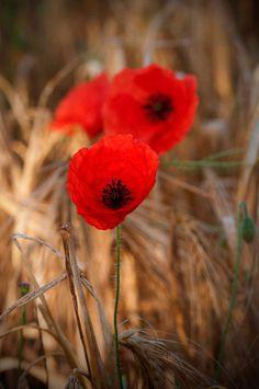 'Mohn im Feld - Poppies in a field' von uta-naumann bei artflakes.com als Poster oder Kunstdruck $17.33
