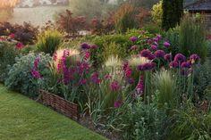 Pettifers garden, Oxfordshire, Angleterre. Aube. Allium firmament (Ail d'ornement), Stipa tenuissima, Gladiolus communis ssp. byzantinus (Glaïeul)