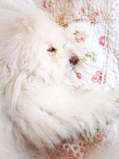 Spirit Blessings 🕊️🕊️🕊️ #blessed #goddesscake #puppy #whitepuppy #fluffball #pink #shabbychic #dreamy