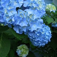 Hydrangea Gifts for Mom
