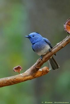 Black napped monarch flycatcher