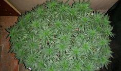 warrenthestrain:  ganja herb cannabis stoner kush marijuana weed...