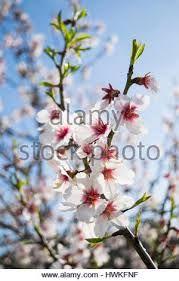 Afbeeldingsresultaat voor Almond Blossom