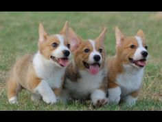 Three Adorable Brown and White Corgi Puppies Cute Corgi Puppy, Corgi Mix, Cute Puppies, Cute Dogs, Dogs And Puppies, Corgi Puppies, Corgi Funny, Teacup Puppies, Funny Dogs