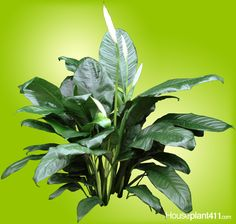 peace lily houseplants bloom more as they mature when u0026 in brighter light - Peace Plant Care