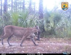 Defenders of Wildlife    Here's something you don't see often — because this is the first time it's been caught on camera! This photo, captured earlier this year, shows an uncollared Florida panther moving her kittens to a new den in the Florida Panther National Wildlife Refuge.    There are only about 100 to 160 of these endangered big cats left in the wild, and they've had an especially rough time of it this year.