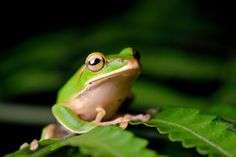 Emerald tree frog by Darren Huang on 500px