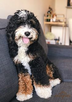 About Bernedoodles - Alpine Bernedoodles Cute Dogs Breeds, Cute Dogs And Puppies, Puppy Breeds, I Love Dogs, Doggies, Bernedoodle Puppy, Goldendoodles, Labradoodles, Baby Animals