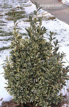 Garden Sense: Evergreen Shrubs for potted plants Evergreen Bush, Evergreen Shrubs, Trees And Shrubs, Trees To Plant, Evergreen Garden, Garden Shrubs, Garden Plants, Potted Plants, Growing Tree