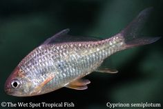 1000 images about freshwater fish cypriniformes on for The wet spot tropical fish