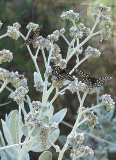 Eriodictyon tomentosum Woolly Yerba Santa. with three Variable Checkerspot Butterflies