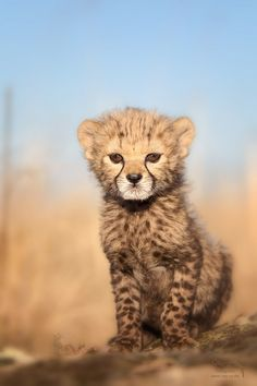 Cheetah cub... I have an unhealthy relationship with these animals <3