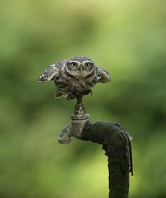 raccaryusui: boh-forse-mah: tiny-creatures: Little Owl by naturenev on Flickr.