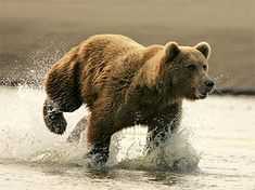 The Brown Bear is the most widely distributed species of bear in the world and can be found in North America, Europe, and Asia. The grizzly, coastal, and European brown bear are all the same species, and the Kodiak bear is a subspecies inhabiting the Kodiak archipelago.