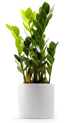 #zamioculcas #plant - it's simple it's beautiful & it can survive anything, even me