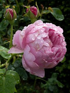 The Charles Rennie Mackintosh rose is a lovely lilac pink colored English rose by David Austin..
