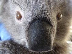 The weekend is closer than you think!  Gumnut out at Healesville Sanctuary teaches us how Koalas greet each other, by touching noses!    This is how they greet their keepers and some lucky visitors too!