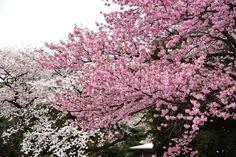 今朝の新宿御苑。家族で花見ピクニック^_^ Cherry Blossoms at Shinjyuku Gyoen