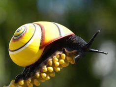 Tree Snail - Polymita Picta Cuba