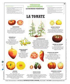 Planche Deyrolle : la Tomate