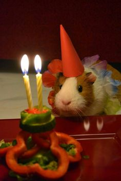 Guinea pig birthday party!