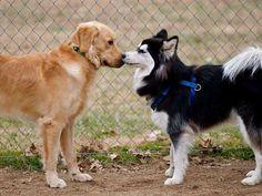 Cheirar outros cães ou a mão de uma pessoa antes de deixar fazer carinho O olfato dos cães é tão poderoso que equivale à visão humana. É um sentido tão importante na espécie que, ao nascer, os cães encontram as mamas da mãe para se alimentar através do faro, antes mesmo de abrirem os olhos. é com o faro que eles reconhecem as pessoas e até outros cães.